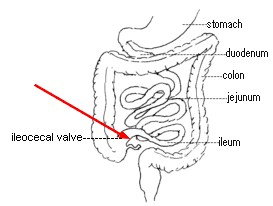 DigestionExplained as well How Activated Charcoal Works in addition  on digestive system intestine walls