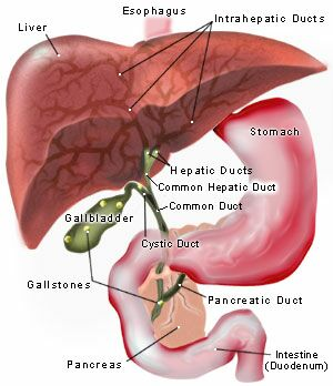 role of the gallbladder, Human Body